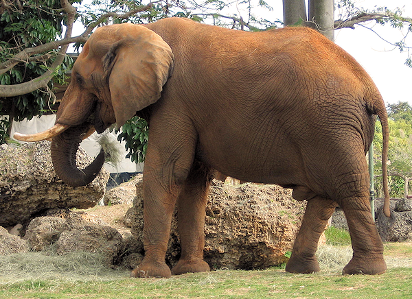 african elephants facts - DriverLayer Search Engine